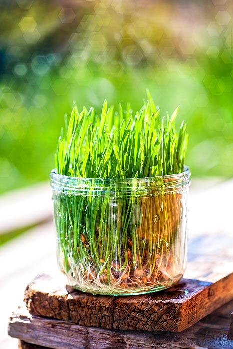 Weizengras selber ziehen im Keimglas Weizengrassaft selber machen