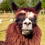 Freundliches Lama Alpaka Farm