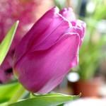 Tulpen im Garten, Tulpenblüte