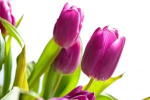 Lila Tulpen Fruehlingsbilder Blumen in pink