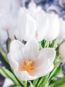 Weisse Tulpen-Blüten Frühlingsboten
