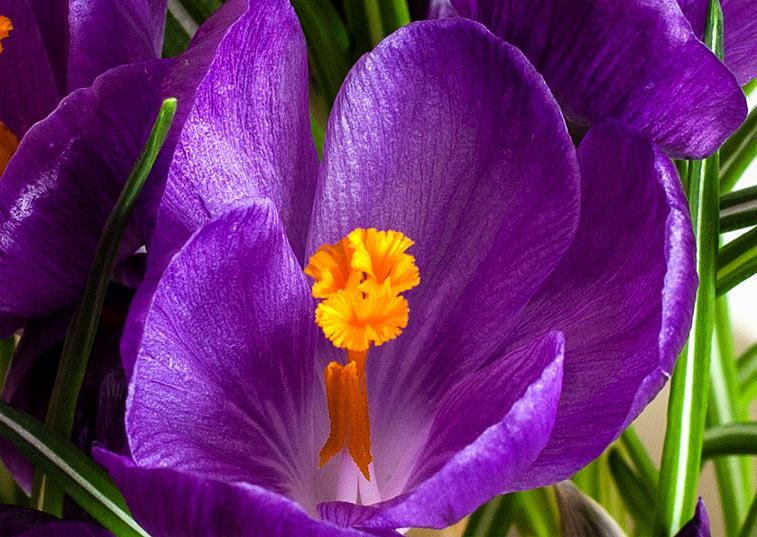Krokus Blüte