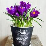 Krokus Blumentopf
