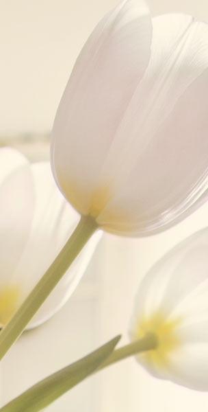 Weisse Tulpen