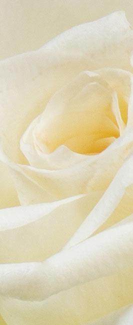 Strauß weiße Rosen