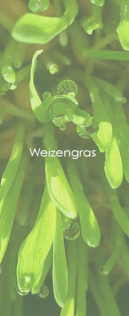 Weizengras Wasserperlen