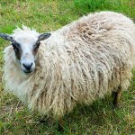 Schaf Wiese