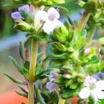 Thymianblüten