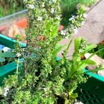 Thymian Gartenkräuter