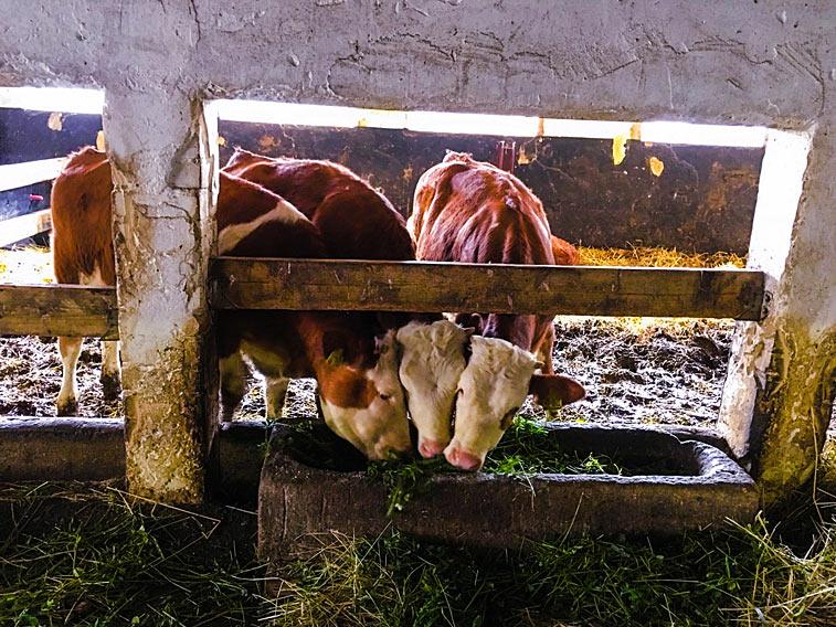 Bio Kühe Grünfuttertrog