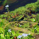 Libelle am Bach mit Vergissmeinnicht
