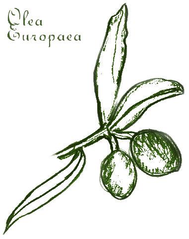 olivenzweig-zeichnung Olea Europaea
