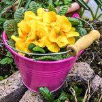 Frühlingsblumen Primeln