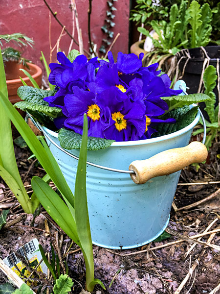 Primeln Frühlingsblumen im Blecheimer