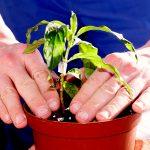 Junge Noni-Pflanze einpflanzen