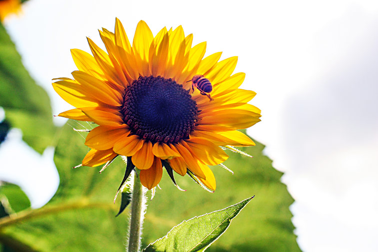 Biene fliegt zur Sonnenblume