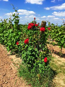 Weinreben mit roten Rosen im Weinberg