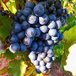 Rote Weintrauben Reben Rebstock