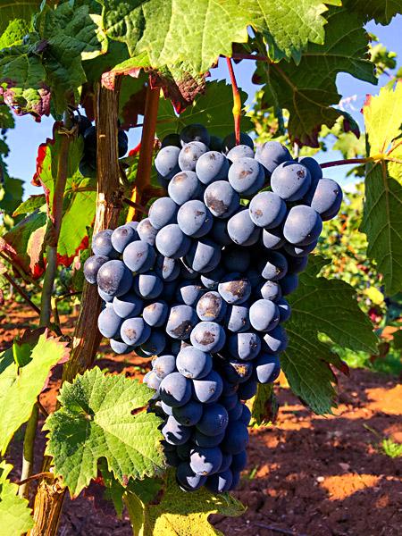 Rote Weintrauben Reben