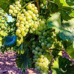 Weisse Weintrauben Reben
