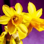 Gelbe Osterglocken Blütenstempel lila Hintergrund
