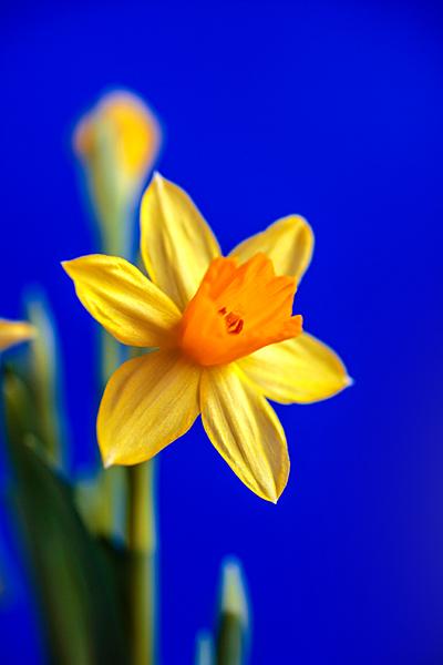 Osterglocke gelbe Narzisse