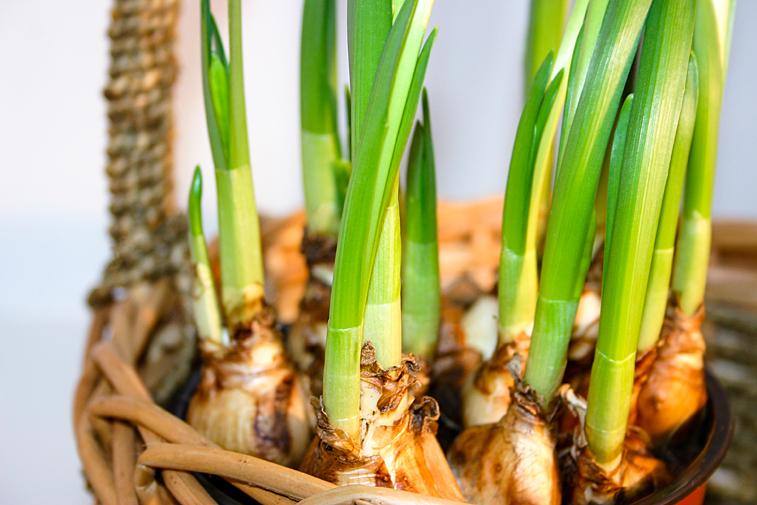 Osterglocken Blumenzwiebeln Osterkorb Stecklinge