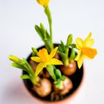 Osterglocken im Blumentopf mit Blumenzwiebeln