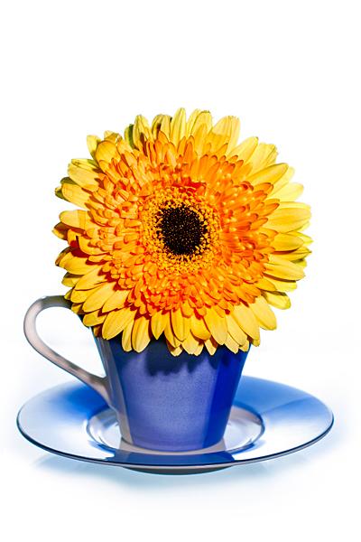 Gerbera Blumengruss aus der Kaffeetasse