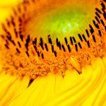 Sonnenblume Blütenstempel Makro Nahaufnahme