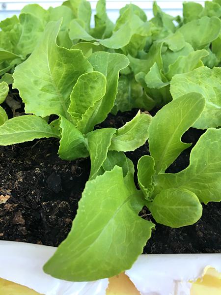 Junge Salat-Pflanzen urban gardening in einem Sack Blumenerde
