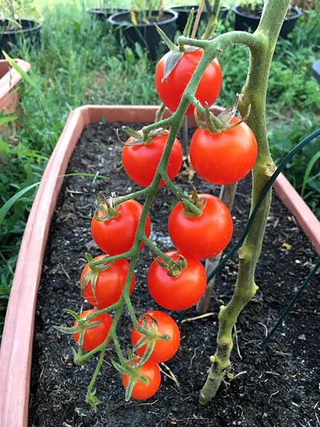 Bio Tomaten-Rispe am Strauch im Garten