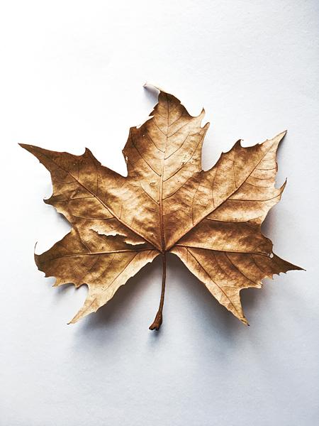 Weinblatt Herbstblatt Getrocknetes Herbstlaub Laubblatt
