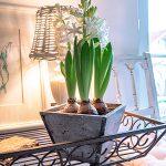 Landhaus Hyazinthen Frühlingsblumen Shabby Blumentopf Korblampe