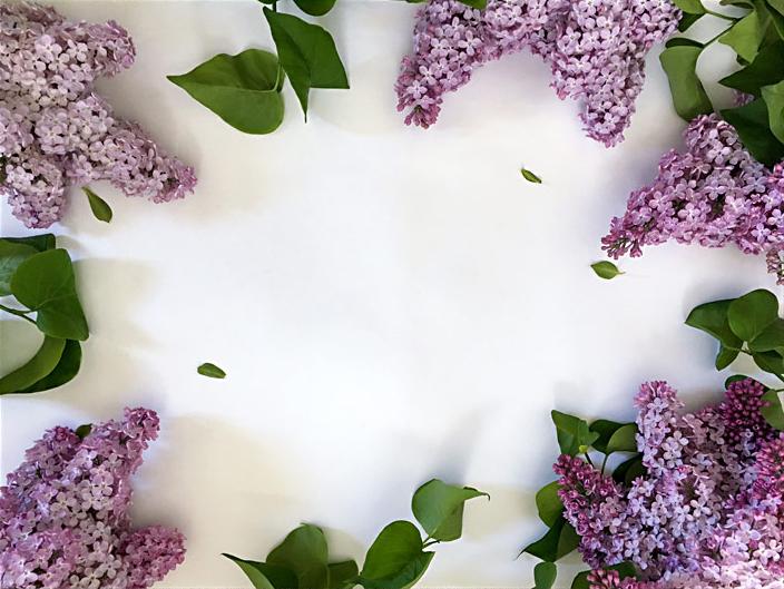 Flieder auf weissem Hintergrund Blumenbild Textplatz