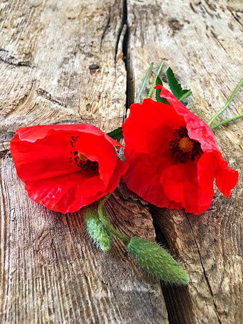 Rote Mohnblumen auf altem Eichenholz Shabby